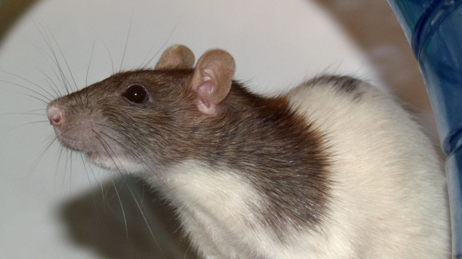 Some Students Got Two Rats to Play Synthesisers and It Sounds Weirdly Beautiful